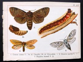 Joanny Martin 1902 Antique Butterfly Print 54